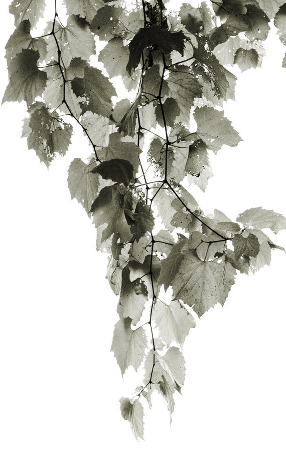 Nature Wall Art  - Picture of Vine Leaves in Garden - Black and White Fine Art Photo for  Home Decor - 8 x 10