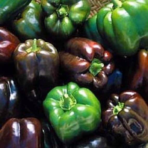 Sweet Chocolate Bell Pepper Seeds Organically Grown Heirloom Excellent Flavor Crisp Thick Flesh Rare Seeds