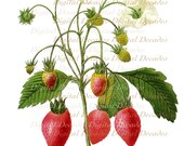 Strawberry Fruit  Red Berry Berries - Digital Image - French Vintage Art Illustration