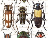 Vintage Beetles Art Illustrations - Bug Insects Oddities Mounted Specimens Collectors Display - Digital Image - Instant Download