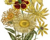Mixed Flowers Botanical Daisy Black Eye Susan Wild Field - Digital Image - Vintage Art Illustration - Instant Download