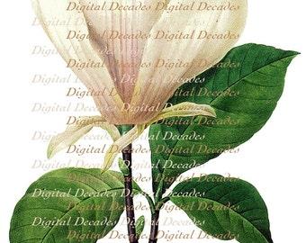 Magnolia Flower - Vintage Art Illustration - Digital Image - Instant Download