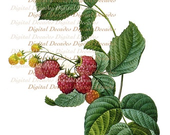 French Red Raspberries Fruit Botanical - Digital Image Vintage Art Illustration