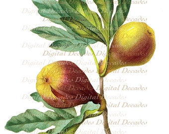 Fig Fruit Botanical - Digital Image Vintage Art Illustration