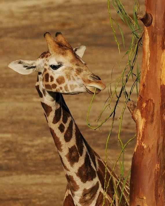 Giraffe snack, giraffe at lunch photo.   Home decor, wall decor, nature photography