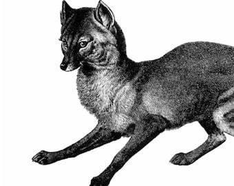 The Jackal Vintage Style Art Print Black and White Grey Wolf Dog Fox