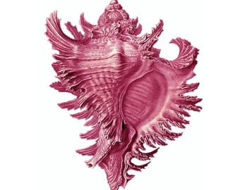 Pink Conch Shell Nautical Vintage Style Art Print Beach House Decor Rose
