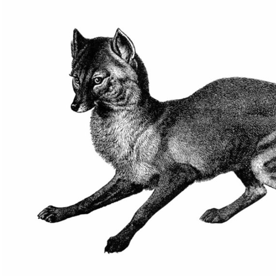 The Jackal Vintage Style Art Print Black and White Grey Wolf Dog Fox