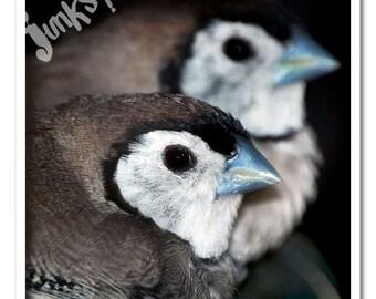 Owl Finch Birds Macro Photography Art Print - Square 8x8