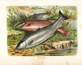 1920  Vintage Print of Fishes,  Salmons Antique Color Lithograph
