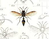 1875 Wasps Antique Lithograph  Vintage Print  Zethus Eumenes Natural History