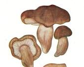Edible Mushrooms Vintage Print, Food Print, Gourmet Cooking, Tricholoma  and Laccaria laccata 1948