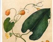 Botanical Illustration Tropical  Plant Timor  Print to Frame