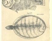 Vintage Print Fish Sketch Drawing Maranhao  Brazil