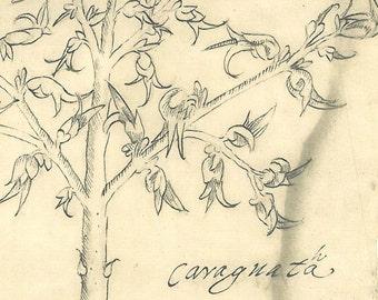 Tropical Plant Botanical Print  Maranhao Brazil Caraguata Illustration