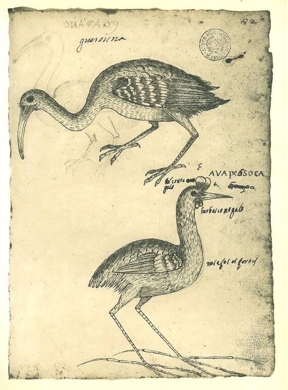 Vintage Print Birds Maranhao Brazil Natural History Art Drawing Ink