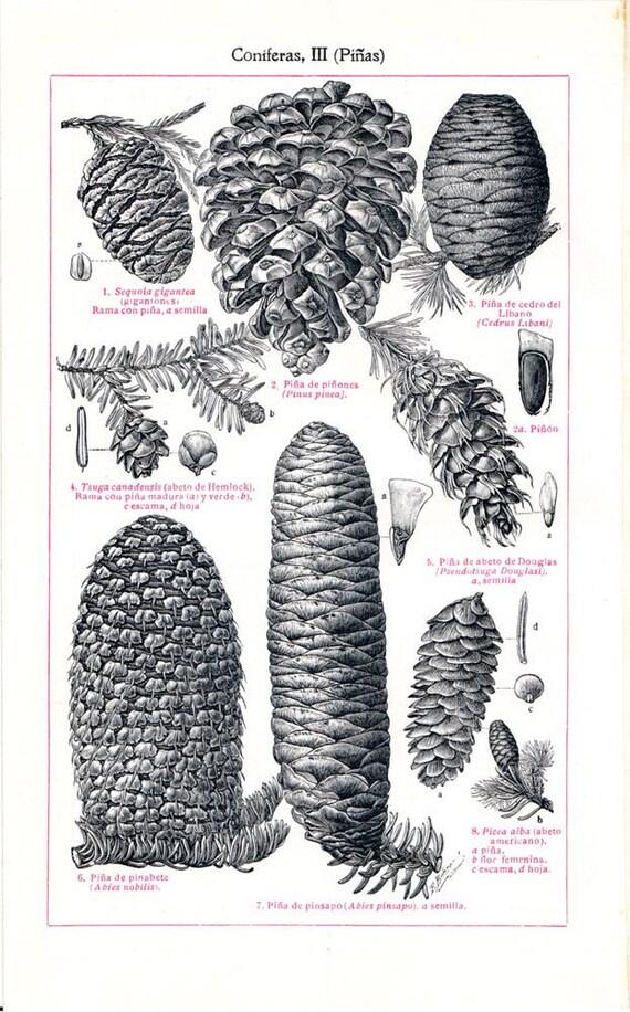Conifers Cones Botanical Chart 1923 Antique  Engraving