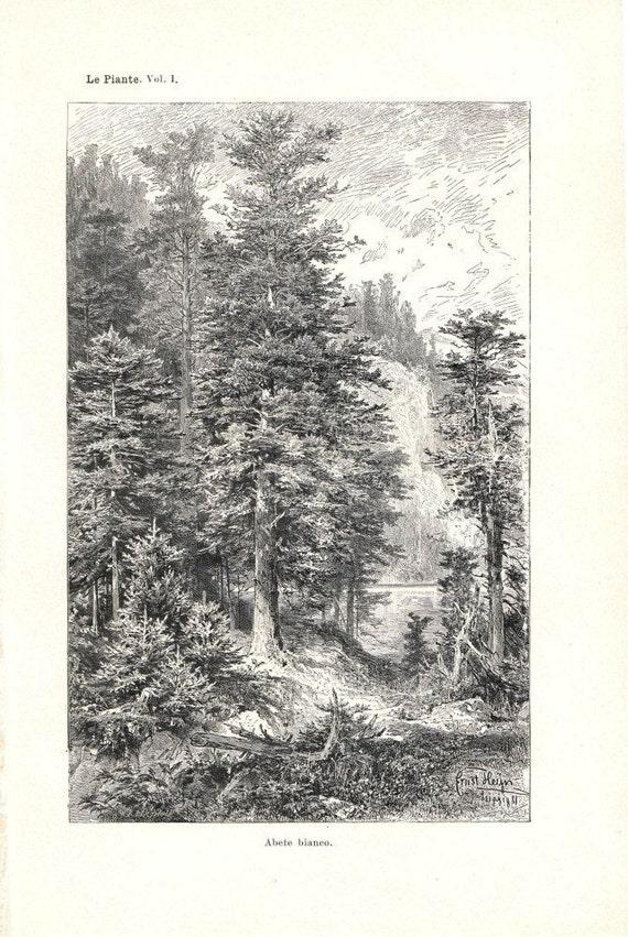 Silver Fir Vintage  Botanical Print 1892 to Frame Home Decor Old Engraving