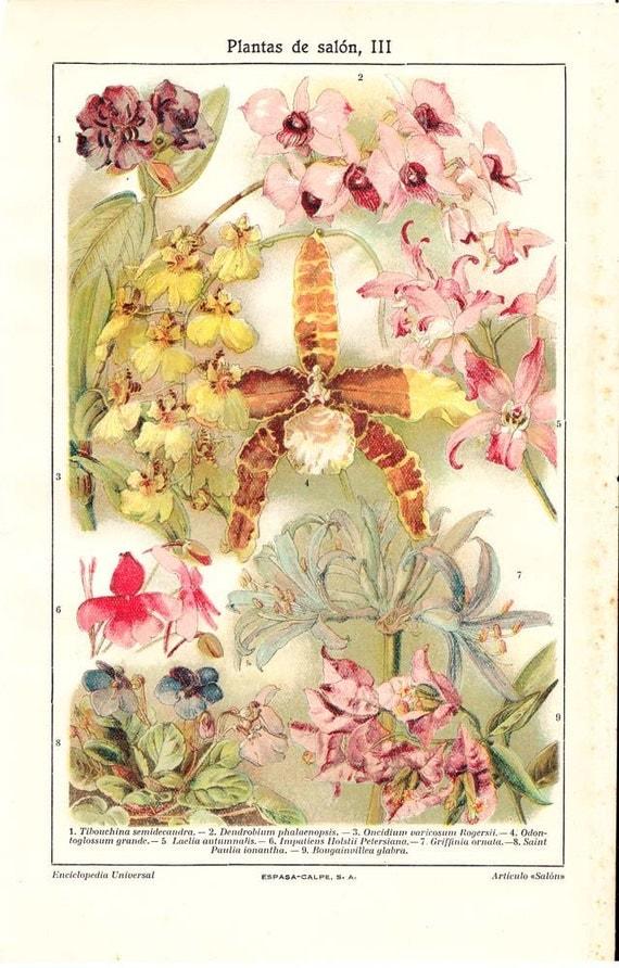 Vintage Botanical Print Houseplants Orchids  1920s Chromolithograph