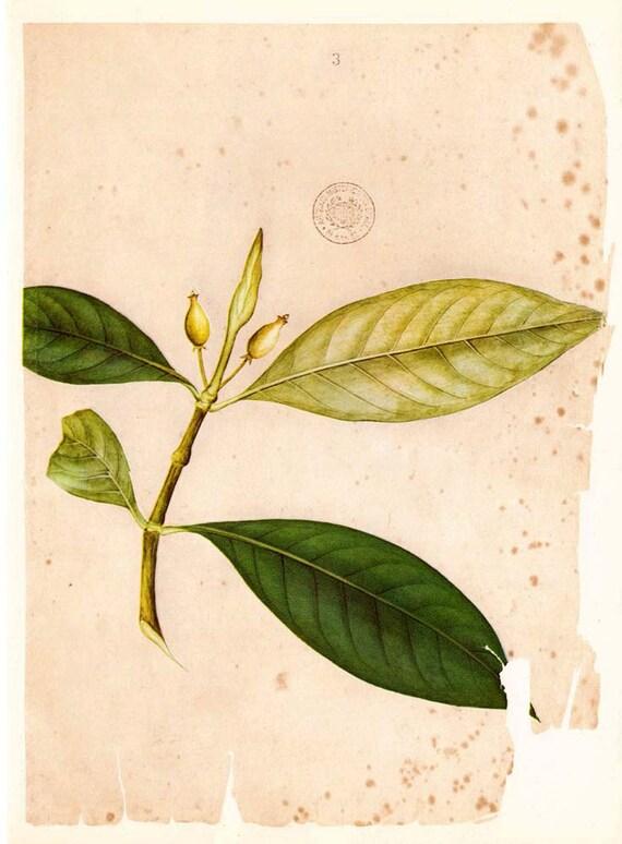 Vintage Botanical  Print Flora Timor Plant Timonius sericeus Catimum