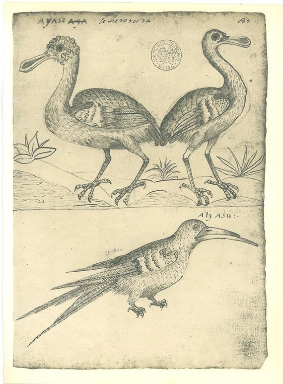 Bird Print Roseate Spoonbill and Black Skimmer Vintage Illustration Maranhao  Brazil