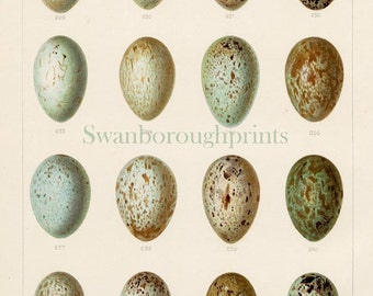 Raven Rook and Crow Bird Eggs Print, Carrion Family 16 Blue and Green Speckled Bird Eggs Print, Woodland Birds Eggs Gift Budget Friendly.