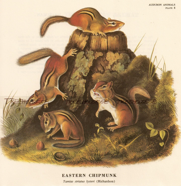 3 Vintage Audubon Chipmunk Prints Squirrel Animal Nature Print