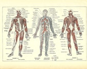1922 - Poster - HUMAN ANATOMY - French Dictionary Color Illustration