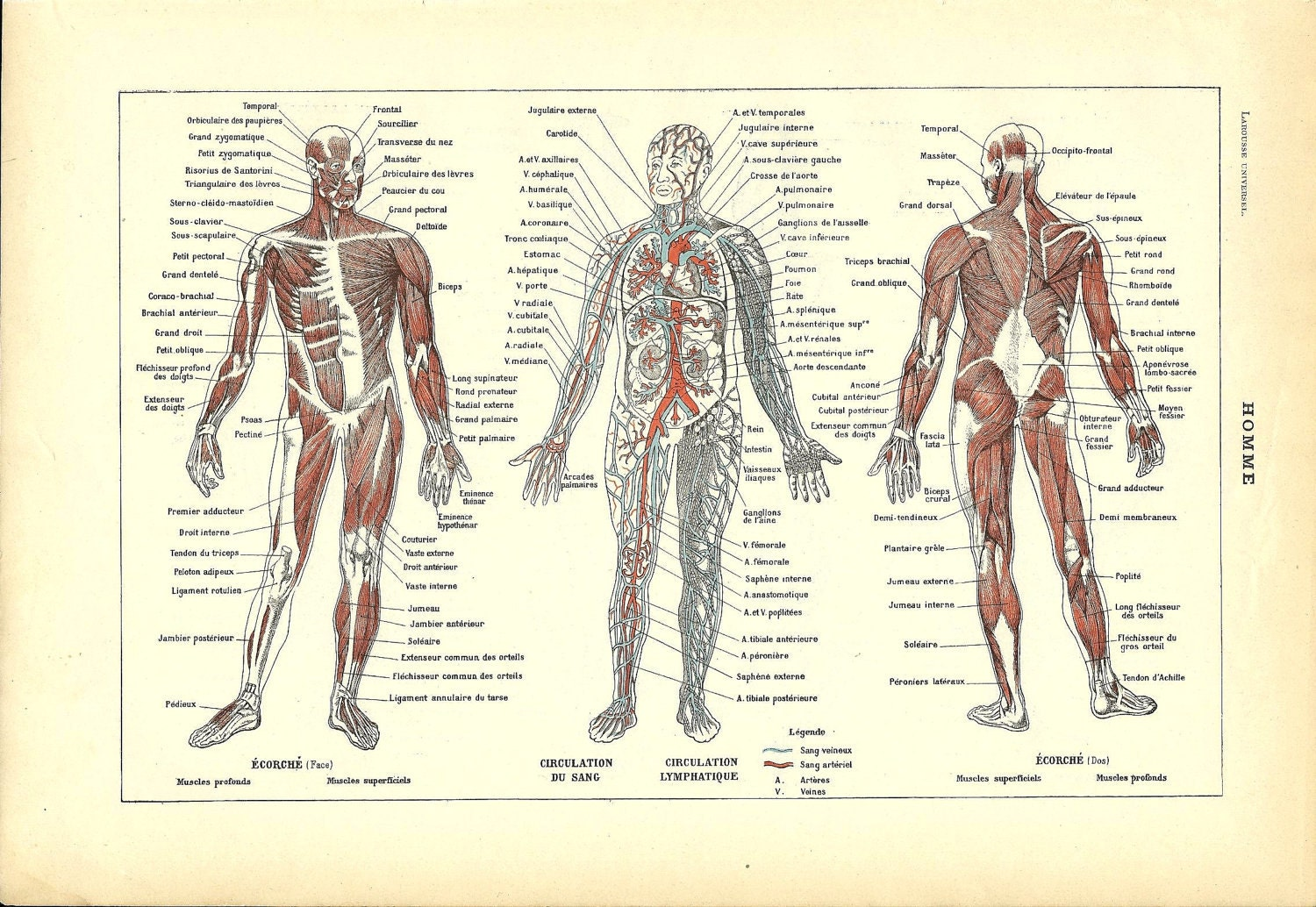 1922 poster human anatomy french dictionary color