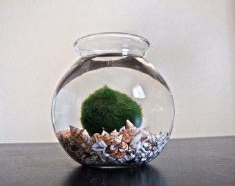 Huge Marimo Moss Ball in a Seashell Aquarium // Garden Decor, Indoor Decor, Outdoor Decor, Green Live Plant Decor, Big Green Pom Pom Ball