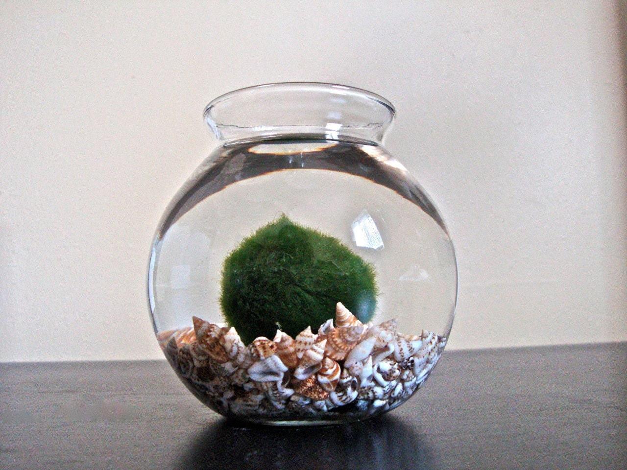 Huge marimo moss ball in a seashell aquarium garden decor for Marimo moss ball
