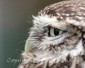 LITTLE OWL, 7.5x5in Print