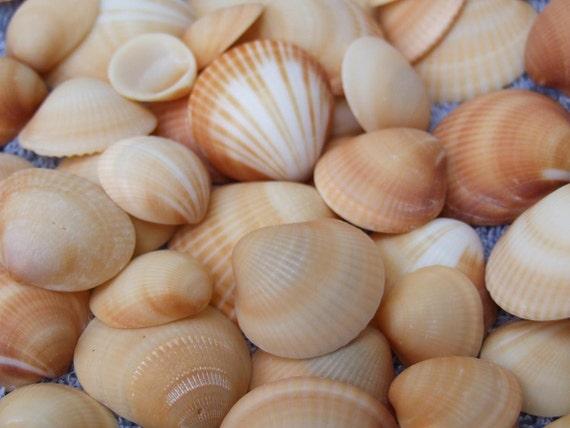 Bulk Seashells Orange Brown Reddish White Tan Stripe and Solid Quarter Size Clam Sea Shells Mix - Craft Supply - Florida - Bulk - TheSandbar