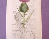 Lovely 1793 Book Plate Botanical Print of Meadow Thistle