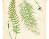 Antique (1857) British Fern Plate - Printable Images - Digital Art Print - Wall Decor - CP-59 - 8.5x11 inch - Instant Download