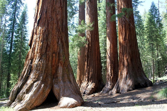 Nature photography California wall art woodland decor landscape photo forest trees sequoia California print 4x6 5x7 6x8 8x10 8x10 10x15