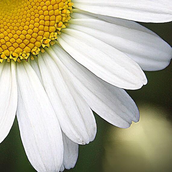 Daisy Print - Flower Photograph - Fine Art Photo, 8x8 Print, Floral Photo, White and Yellow, Daisy Photo, Wall Decor