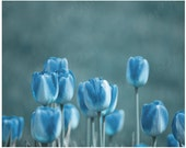 Blue Flowers, Blue Tulips, Fine Art Photography Download, 8x10 inch