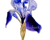 Iris - fine art botanical print, Iris watercolour, Iris print, flower print