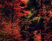 Red colors of autumn, surreal photo, red trees, forest, print you can frame for your wall, Finland