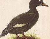 1962 Vintage Bird Print, Ornithology Art Illustration to Frame,  Wall Decor, The Velvet Scoter, Horizontal