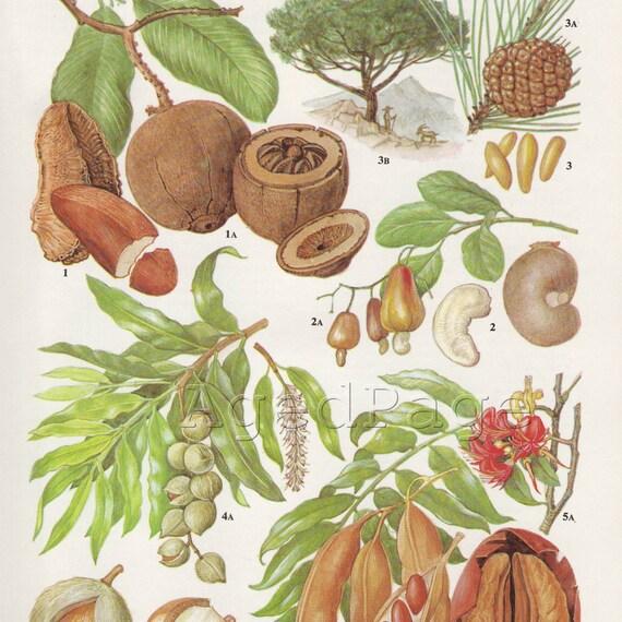 Vintage Botancial Print, Book Illustration to Frame, Kitchen Decor, Home and Garden, Nuts and Seeds, 31