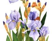 Iris Field Watercolor Garden