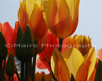 READY TO SHIP, Yellow Orange Green Blue Springtime Tulips, Flower Photography, Fine Art Photography signed matted 5x7 print