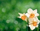 Daffodil Photography, Fine Art Spring Photography, Flower Macro, Narcissus Macro Print Minimalistic 8x10 8x12