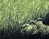 Flower Photography, Daisy Bouquet Lawn Photography, Fine Art Print,  Green Grass Woodland, Canvas Flower Print