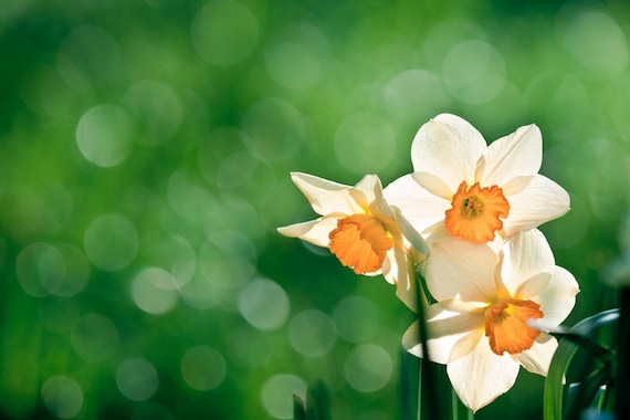 Daffodil Photography, Fine Art Spring Photography, Flower Macro, Narcissus Macro Print Minimalistic 8x10 8x12