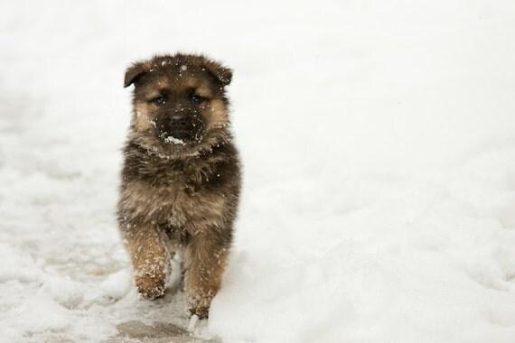 German Shepherd Baby Dog Photography Fine Art Canvas Print or Photo Paper Print 8x10 or 8x12