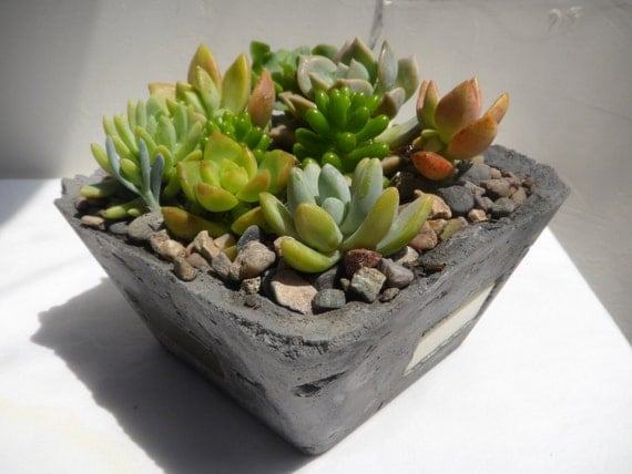 Succulent potted Garden in cement plater, by RotdCreations