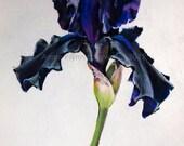 Black Iris Print